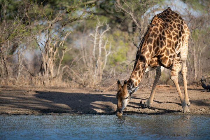Giraffe Drinking Rhino Dam Jt 300mm F2.8 1 1250 Iso100 1 Of 1