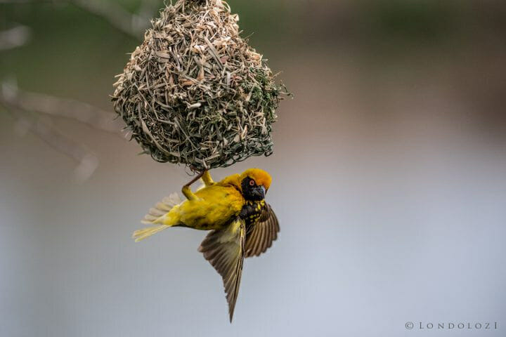 Southern Masked Weaver 300mm 1 2500 F2.8 Iso1600 1 Of 1