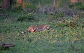 Nkoveni Stalk Leopard
