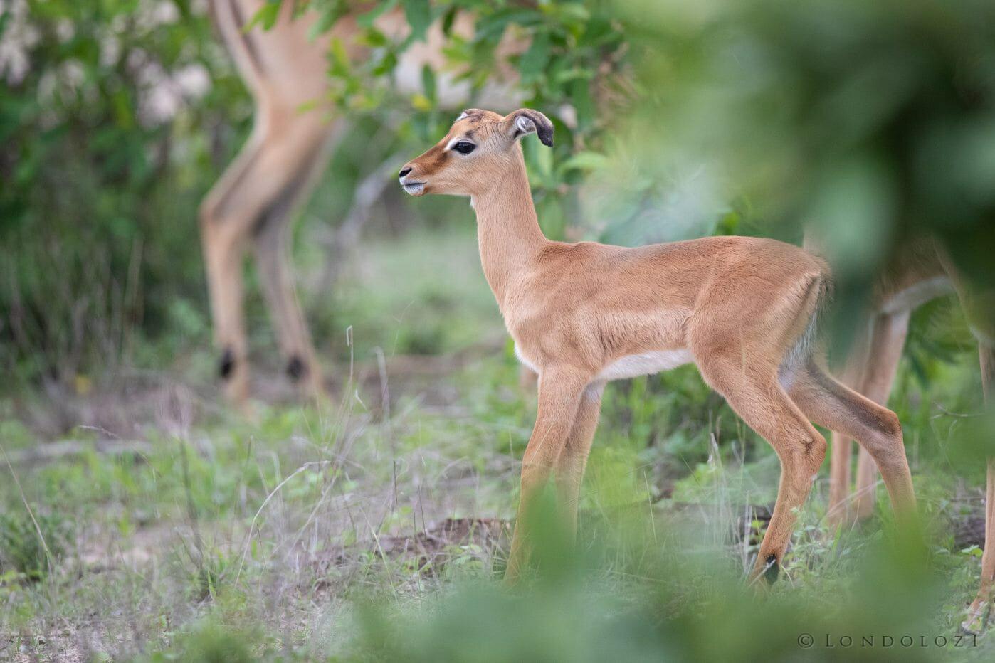 Impala Lamb Floppy Ears 3
