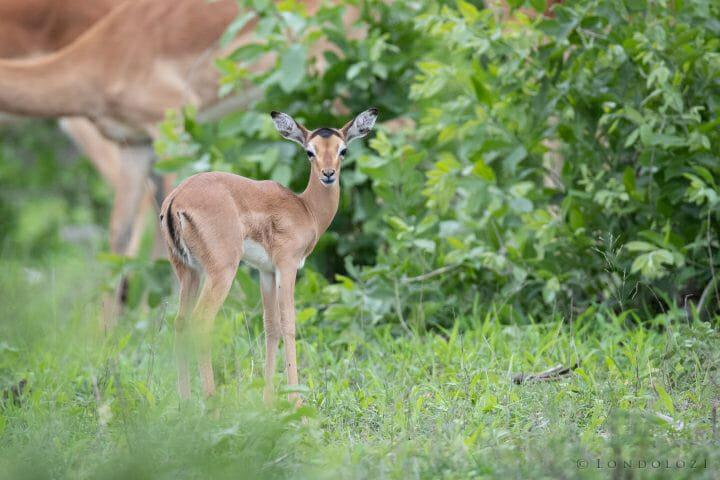 Impala Lamb Floppy Ears
