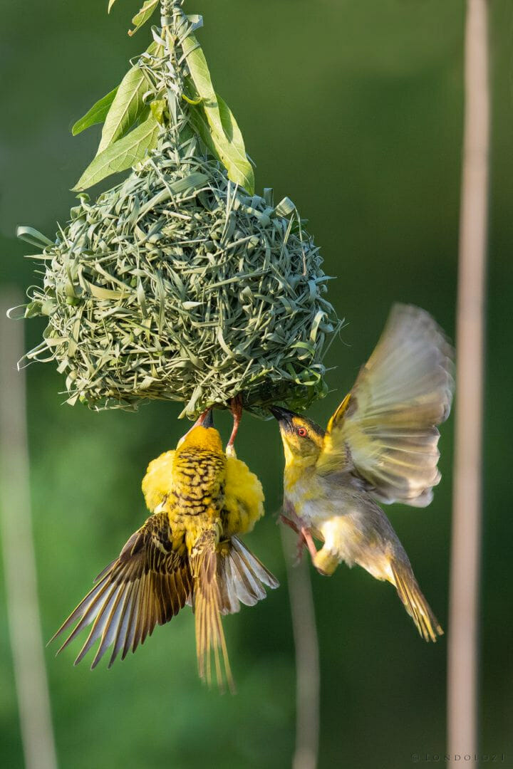 Weaver Bird 4