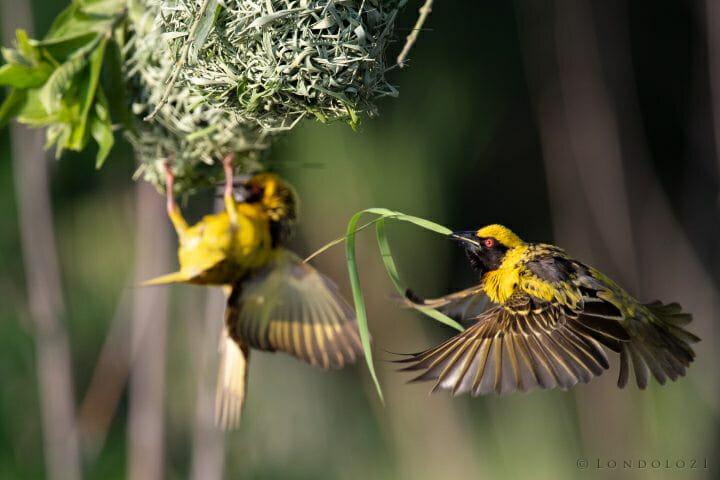 Weaver Bird 5
