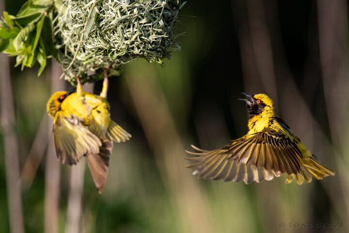 Weaver Bird 6