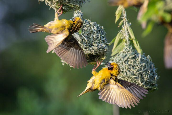 Weaver Bird 8