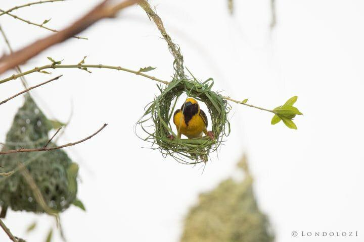 Weaver Bird 9