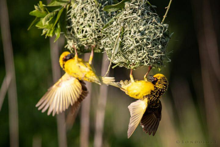 Weaver Bird 7