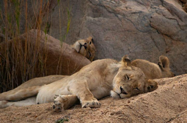 Lions Othawa Pride