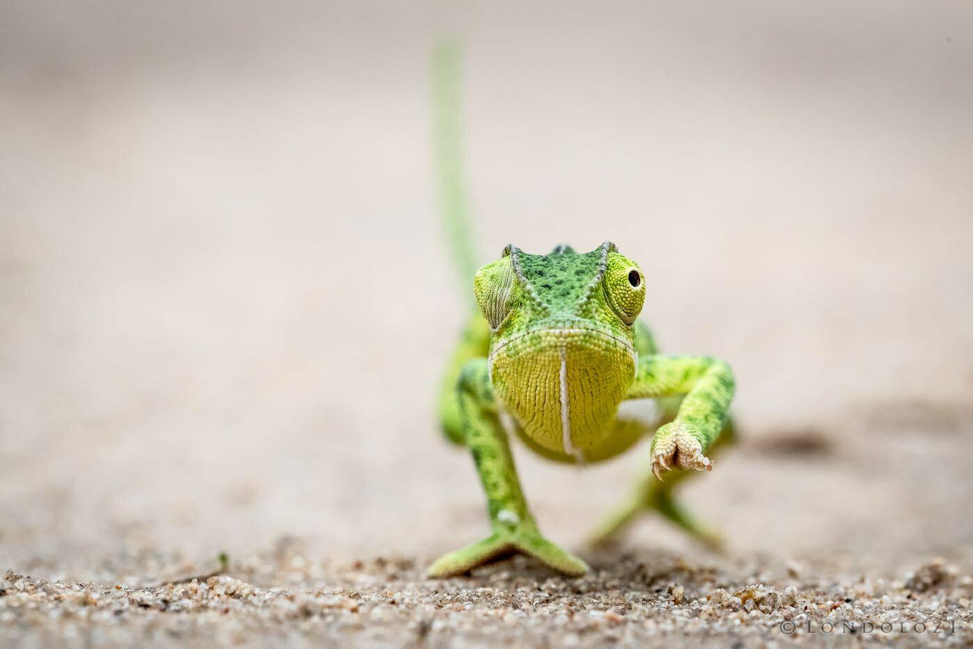 Chameleon Jt