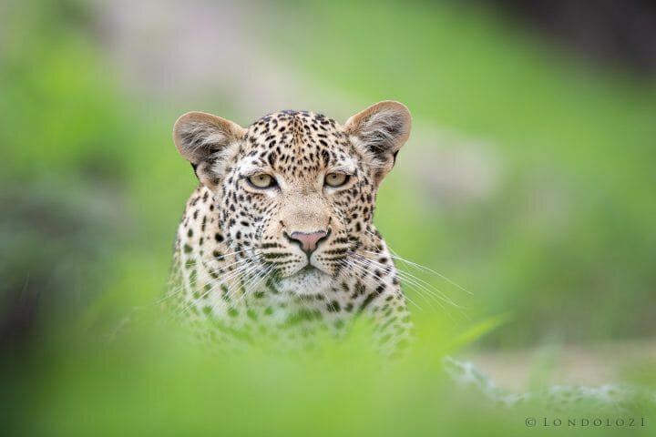 Finfoot Female Leopard Jt