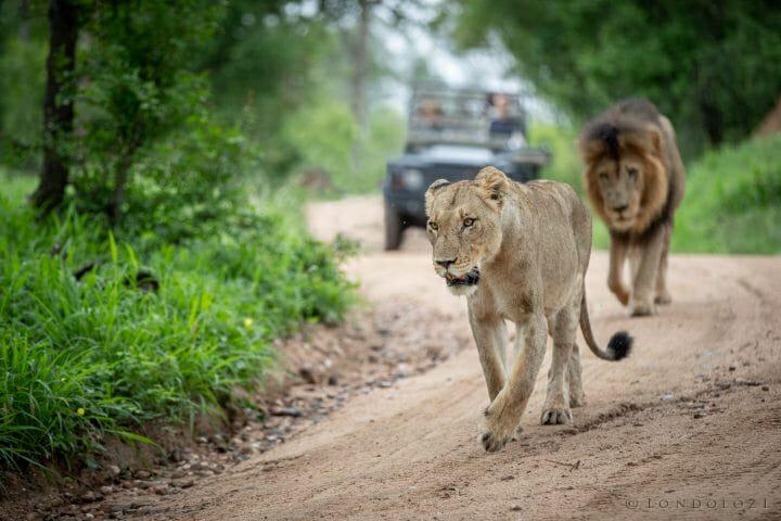 Lion Pair Pete Jt1