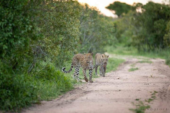 Ximungwe Leopard Cub
