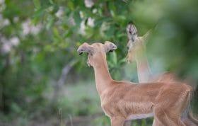 Impala Lamb Floppy