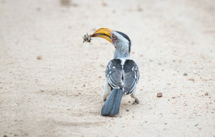 Yellow Billed Hornbill 3