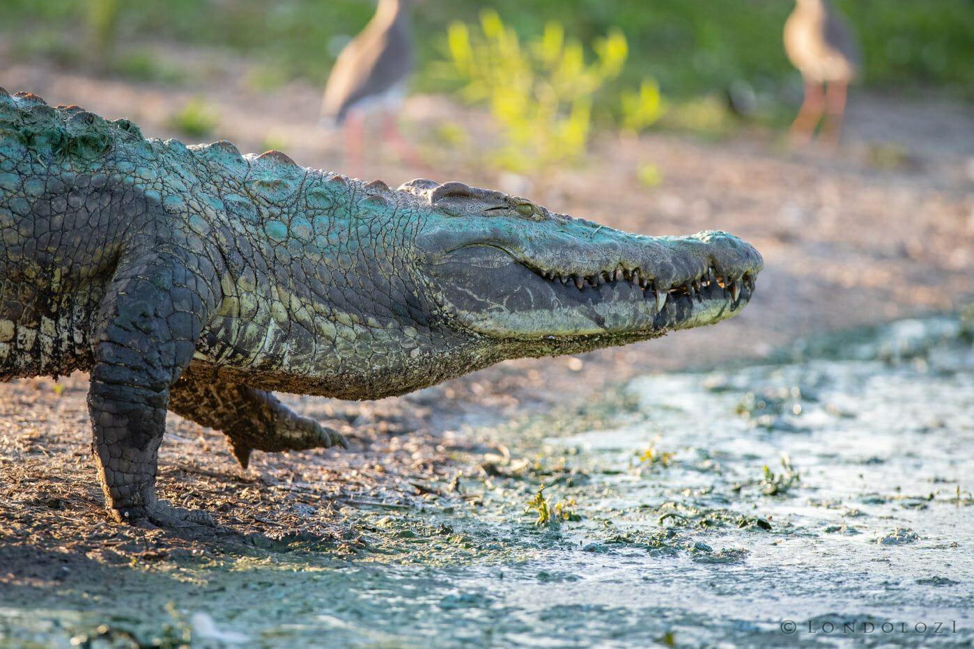 Crocodile Walk