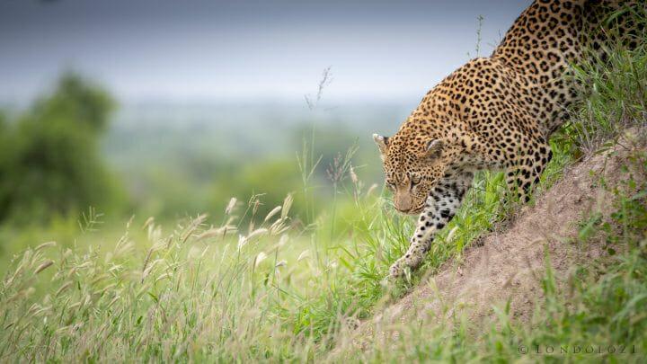 Mashaba Leopard Grass Termite Mound