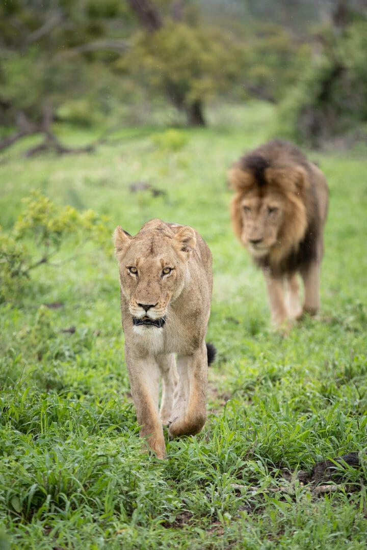 Ntsevu Lioness Birmingham Lion