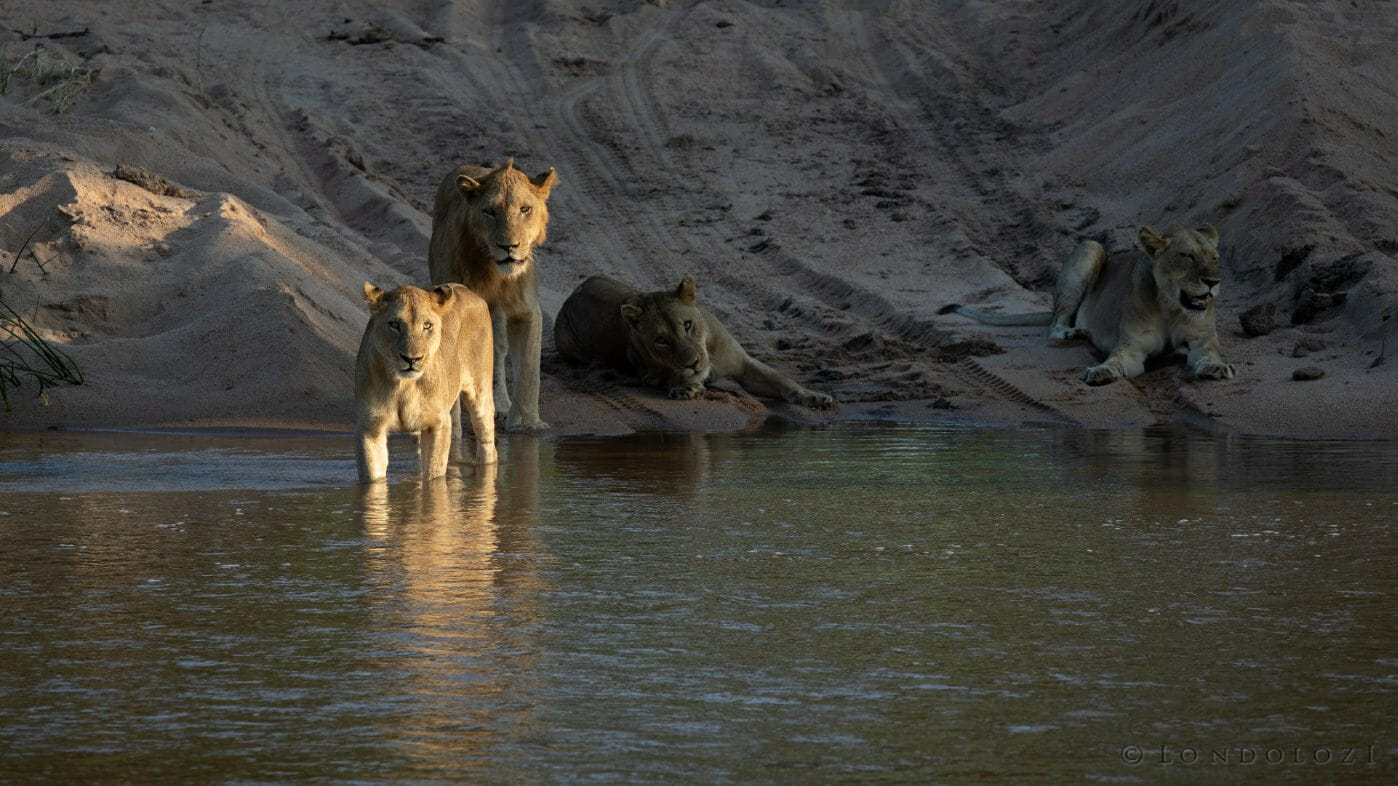 Styx Lions Water Sand River