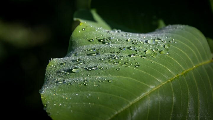 Water Droplet Leaf Dew