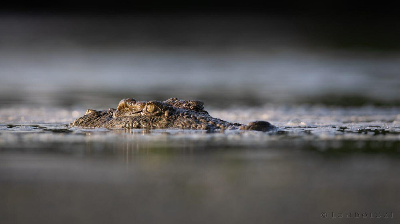 Crocodile Eyes1