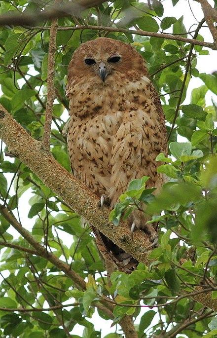 440px Pels Fishing Owl Scotopelia Pel