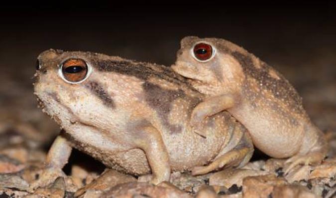 Bushveld Rain Frog 2.1