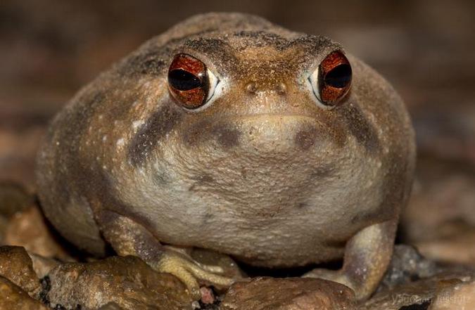 Bushveld Rain Frog 1 001