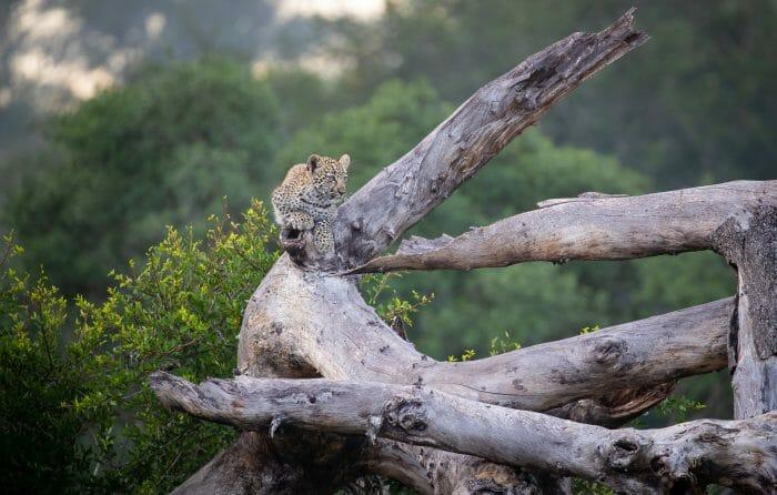 Ndzanzeni Cub Leopard