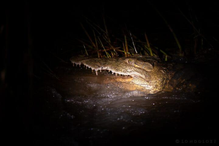 Crocodile Spotlight Causeway