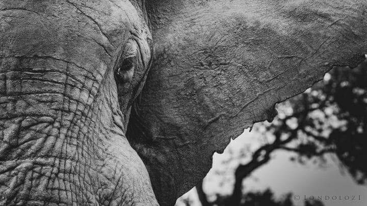 Elephant Bull Ear