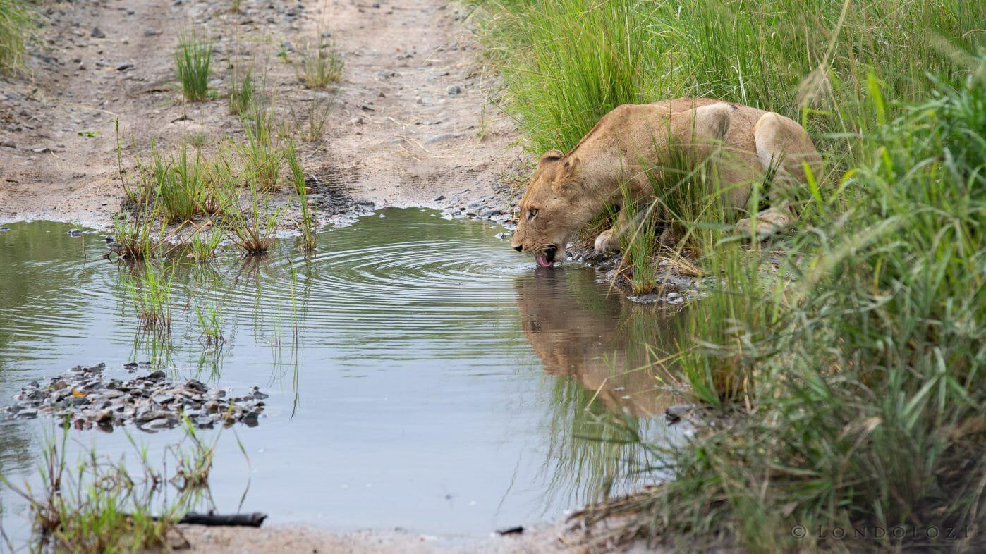 Mhangeni Lion Drink 2015 Jan