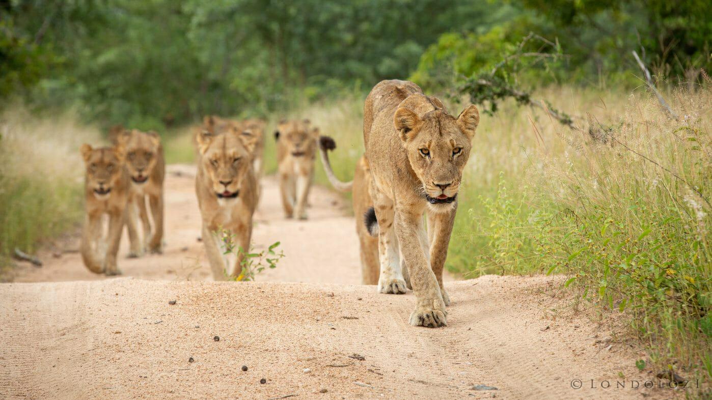 Mhangeni Pride Lions