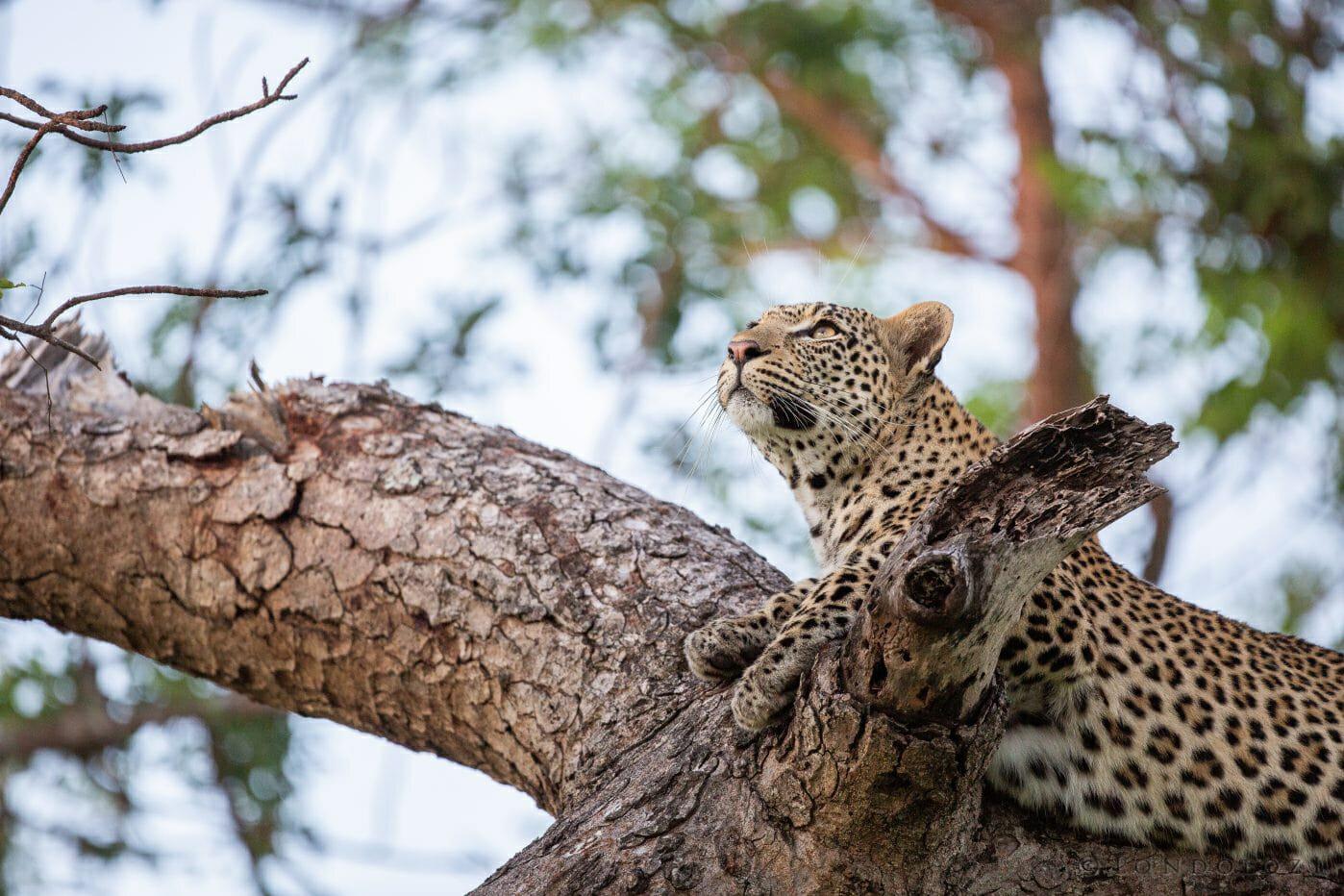 Nkoveni Female Leopard