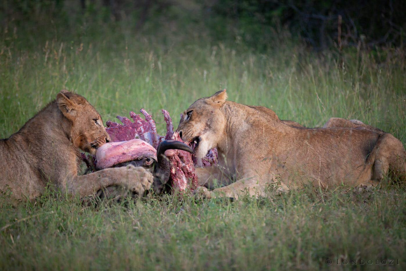 Tsalala Lion Wildebeest