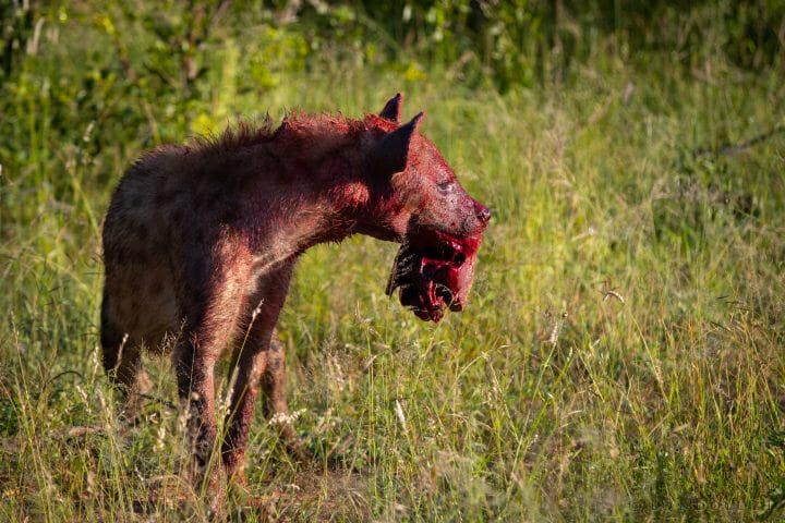 Hyena Blood