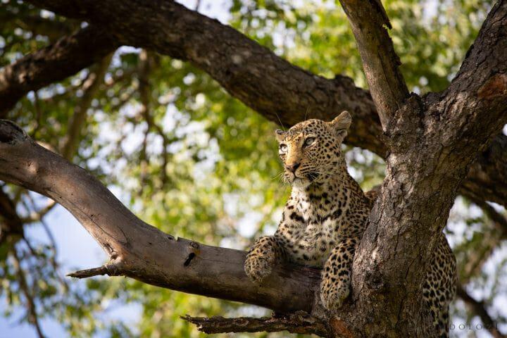 Nanga Leopard