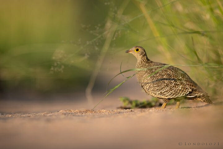 Sandgrouse Bird 2