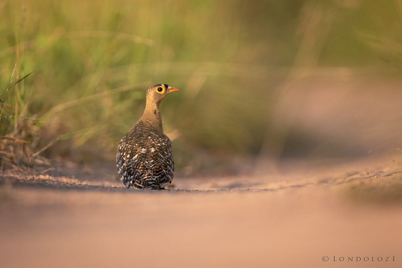Sandgrouse Bird