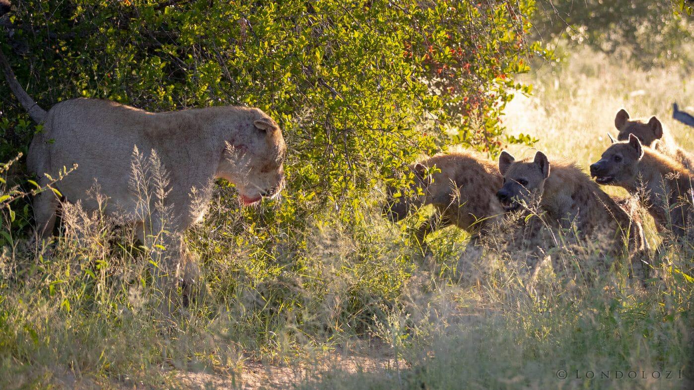 Tsalala Lion Hyenas