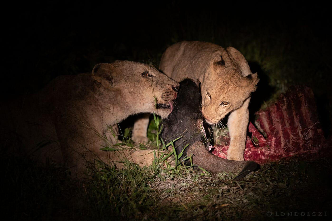 Tsalala Lion Wildebeest1