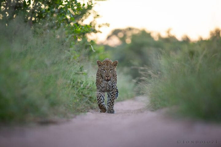 Nkoveni Leopard Grass