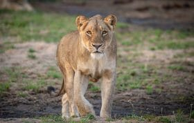 Ntsevu Lioness Stalk