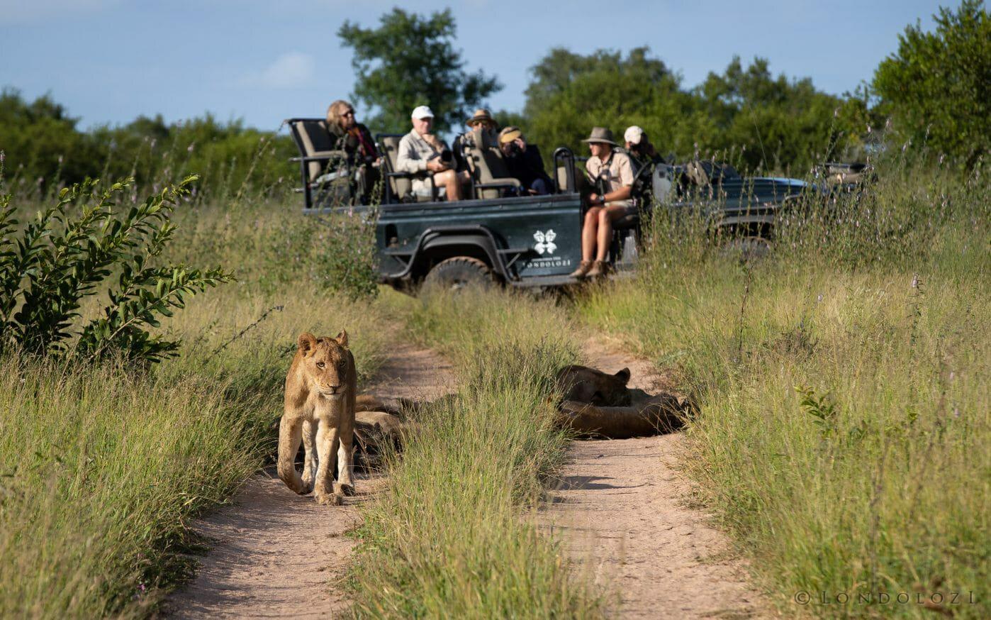 Ntsevu Lion Land Rover
