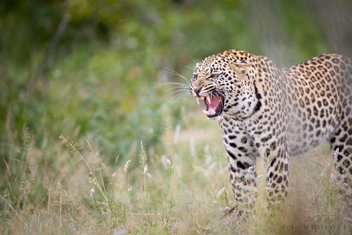 Ximungwe Ym Leopard