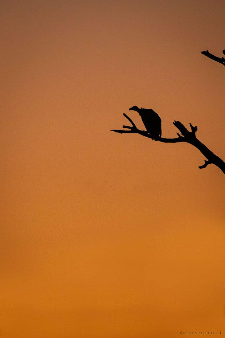 Vulture Dead Tree