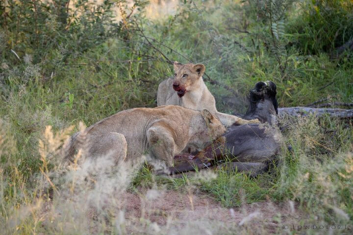 Tsalala Hyenas Lion Cub