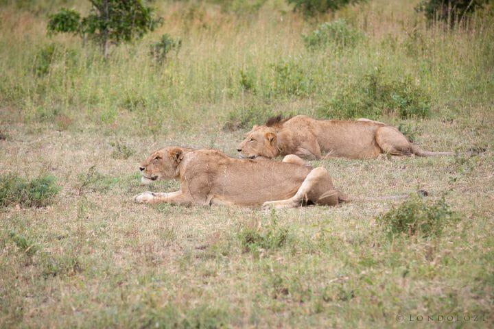 Sparta Lions Stalk