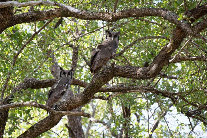 Verrauxs Giant Eagle Owl