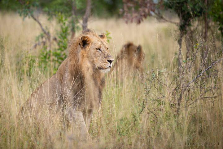 Young Birmingham Male Lion