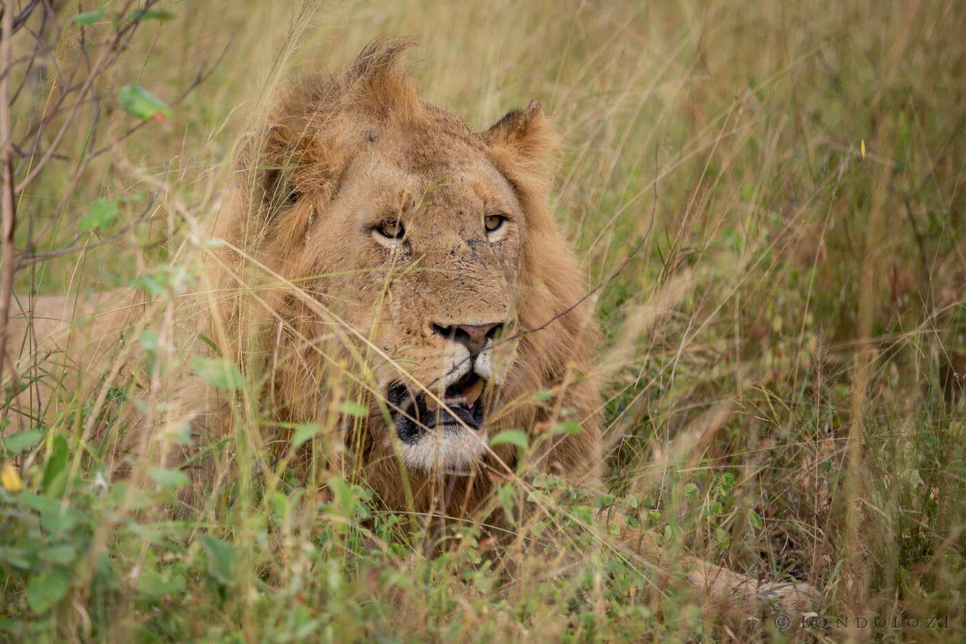Young Birminhgam Male Lion